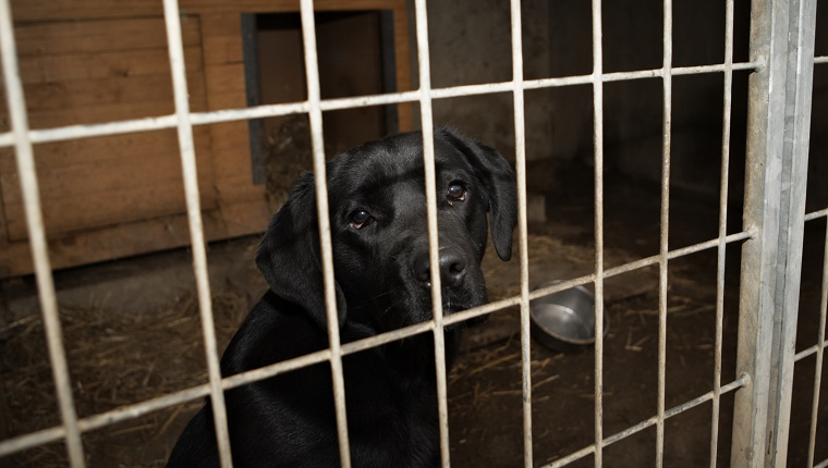 A Black Labrador sits in a kennel.