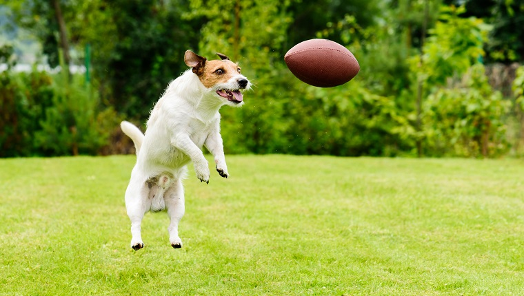Dog catching Rugby ball at back yard