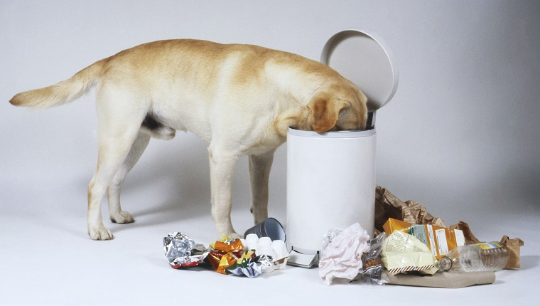 A Labrador sticks its face in a trash bin with garbage strewn around it.