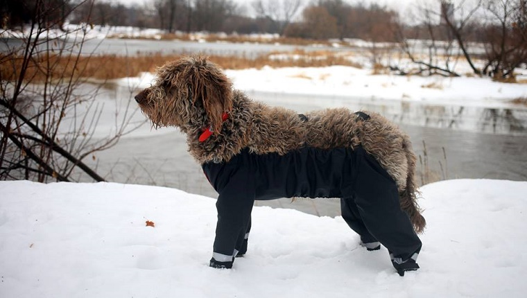 A brown dog with curly hair stands in the snow wearing nylon waders that cover all four legs.