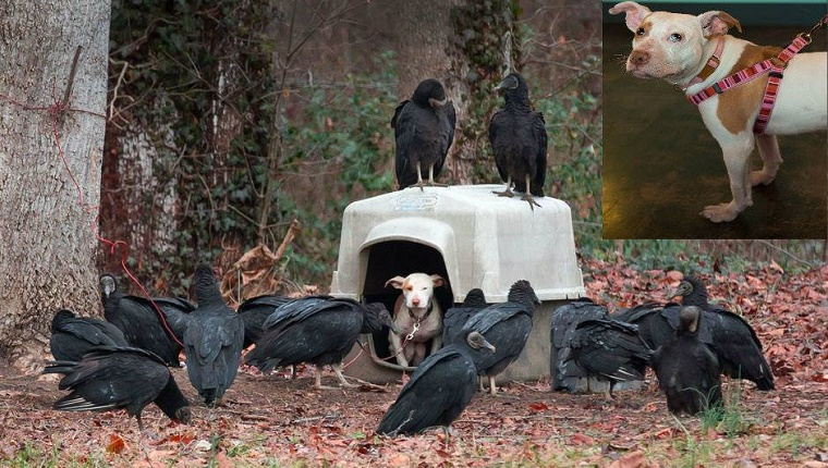 Several vultures surround a plastic kennel where a small Pit Bull puppy looks out.