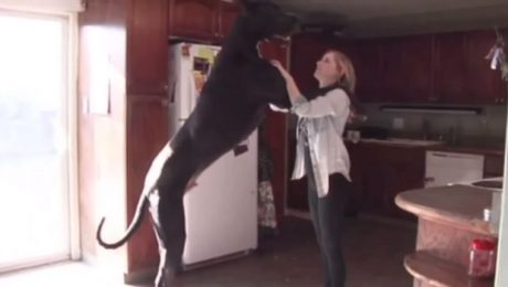Rocko The Great Dane Is Newest Contender For World's Tallest Dog