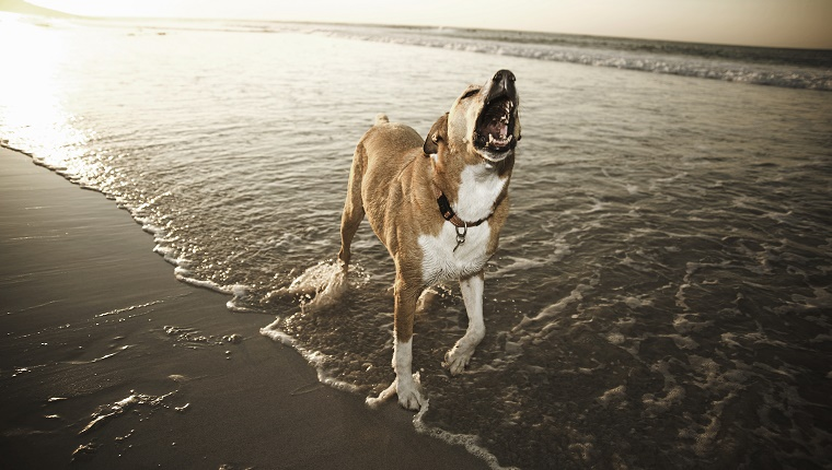 A dog barks while standing on a beach in shallow water.