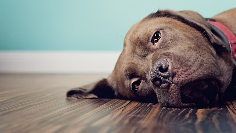 A dog lies on a wood floor with a blue background.