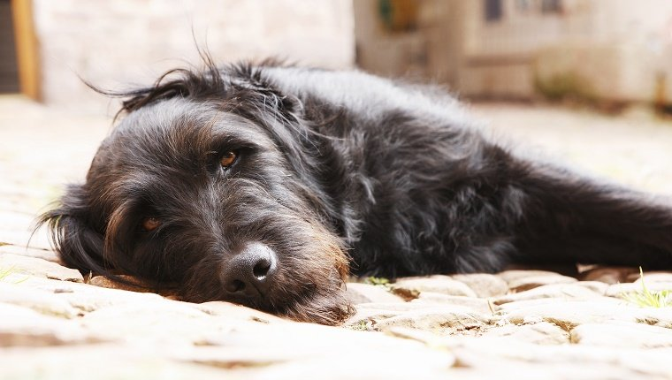A shaggy black dog lies on his side.