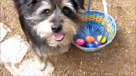 Happy Easter! 10 Dogs Having Their Own Easter Egg Hunts [VIDEO]