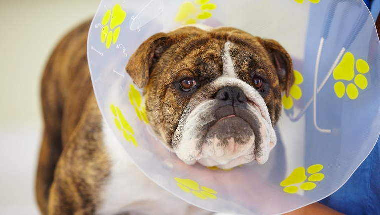 A Bulldog with a cone around his neck is held by a veterinarian.