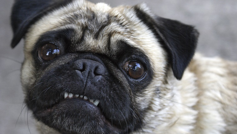 A Pug shows his teeth.