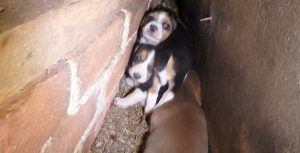 Desperate Puppy Mill Mom Hides Puppies In Wall