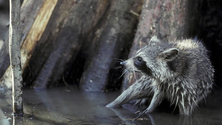 A raccoon stands in shallow water by a tree and looks frightened.