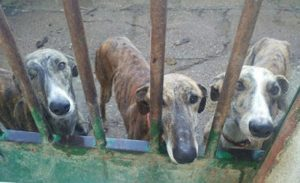 Stop Spain's Yearly Greyhound Holocaust: You Can Help!