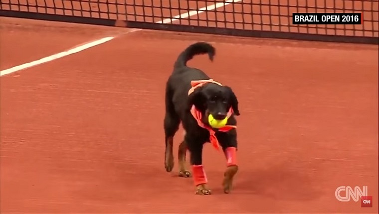 A dog carries a tennis ball