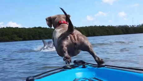 Wiener Dog Dives Off A Kayak To Chase After A Dolphin