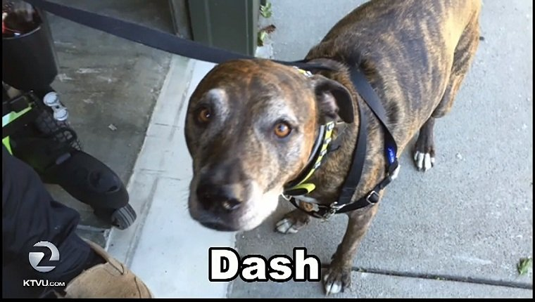 Dash is a brindle Pit Bull mix.