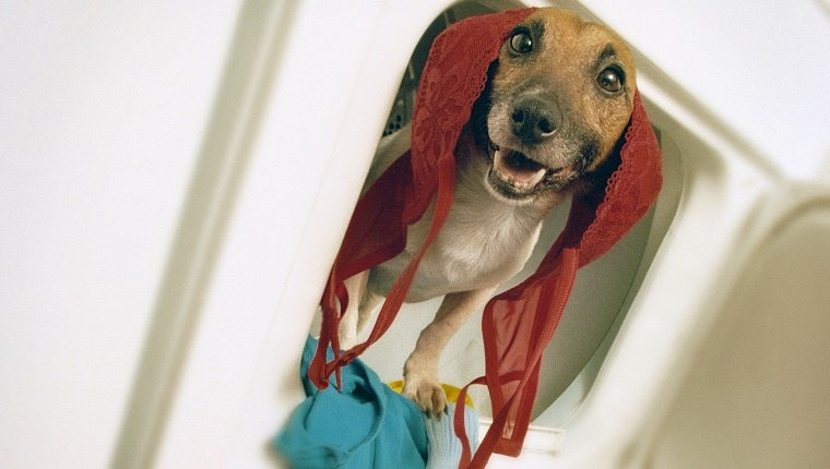A small dog pokes his head out of a laundry machine with a bra on his head and an expression like he deserves a reward or something.