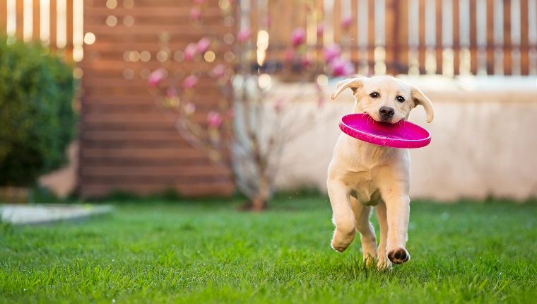 Horizontal image of a 4 months old labrador retriever dog running with a frisbee disk in her mounth.