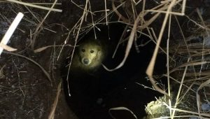 Golden Retriever Stuck In Sinkhole For Two Days Rescued By Firefighters