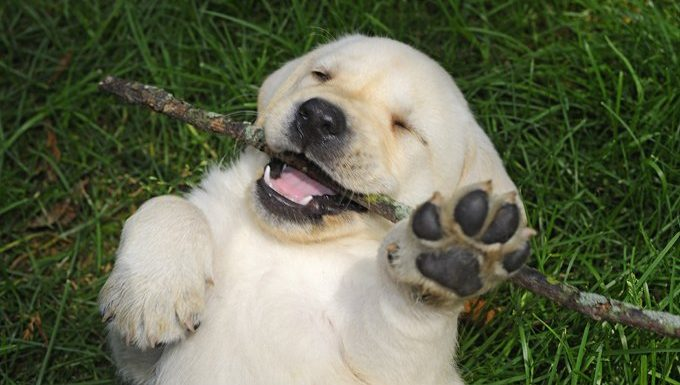 puppy chewing stick