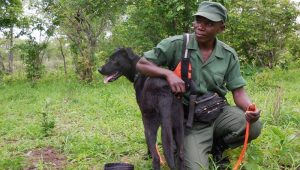 Ruger The Anti-Poaching Dog Shuts Down 150 Poachers In Zambia