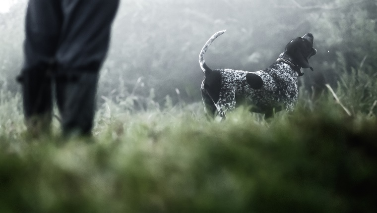 Blue tick Coonhound hunting in the forest