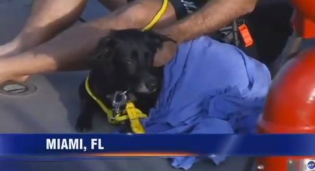 Elderly Black Lab Swims 9 Miles To Find Family