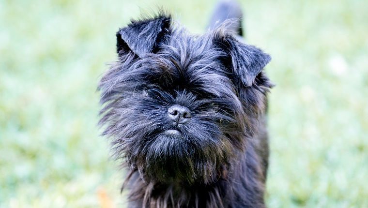 This Affenpinscher is a little moustached and charming little puppy, alert and inquisitive, loyal and affectionate.