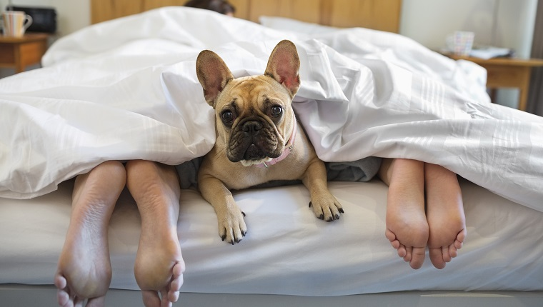 Dog laying under covers with couple