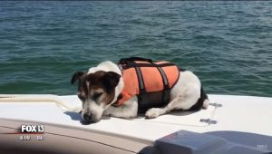 Jack Russell Terrier In A Life Jacket Saved After Being Lost At Sea For 3 Hours