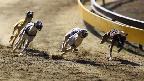 Arizona Ends Dog Races And Hundreds Of Greyhounds Are Up For Adoption
