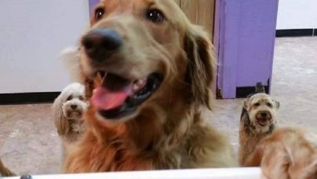 Golden Retriever Runs Away From Home To Join His Buddies At Doggy Daycare