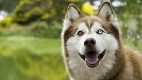 30 Dogs With Two Different Color Eyes [GALLERY]