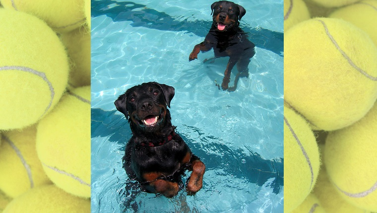 Two Rottweilers stand in a pool