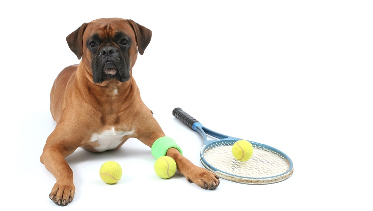 Dog lies down with tennis ball and racket.