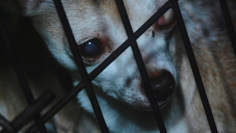 Close-Up Of Blind Chihuahua In Cage