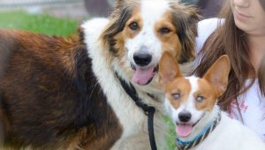 Blind Shelter Dog's Best Collie Buddy Acts As Seeing-Eye Dog
