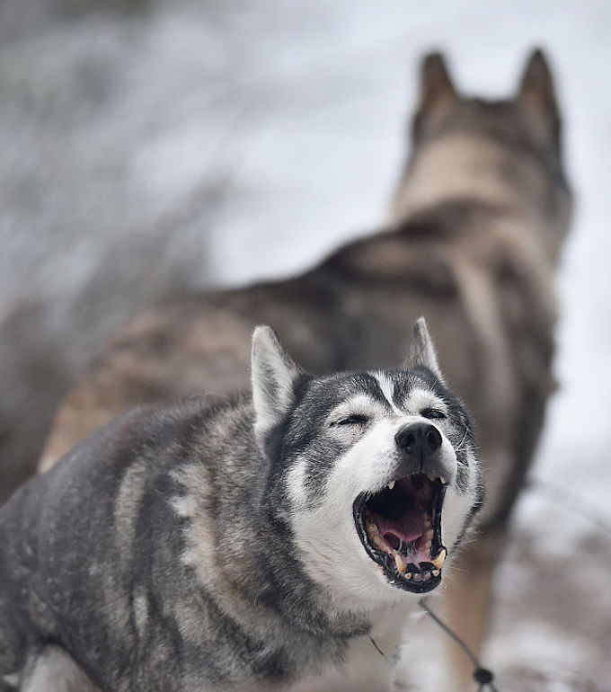 FESHIEBRIDGE, SCOTLAND - JANUARY 19: A husky barks as it prepares for sled practice at a forest course ahead of the Aviemore Sled Dog Rally on January 19, 2016 in Feshiebridge, Scotland. Huskies and sledders prepare ahead of the Siberian Husky Club of Great Britain 33nd race taking place at Loch Morlich this weekend near Aviemore. (Photo by Jeff J Mitchell/Getty Images)