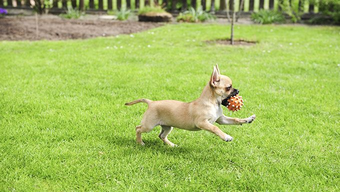 chihuahua puppy running with ball