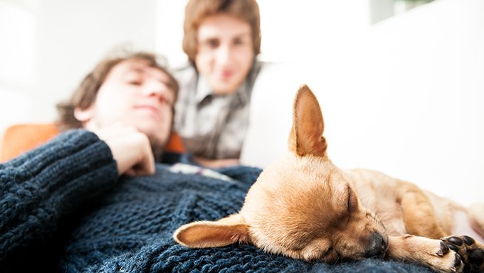 chihuahua puppy sleeping on humans lap