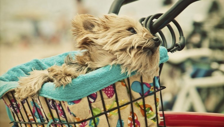 Yorkshire Terrier relaxes in basket of his owner bicycle.