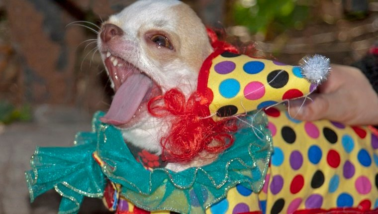 Small Dog Wearing a Clown Costume on Halloween