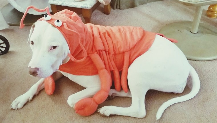 Dog wearing crab costume