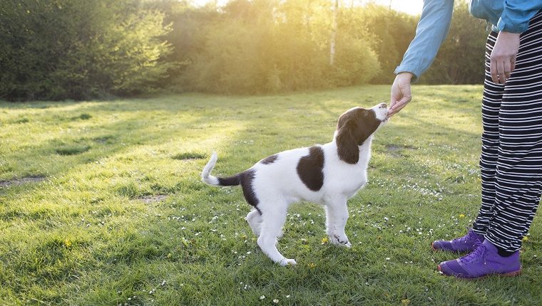 A woman is training her puppy on a field at sunset.