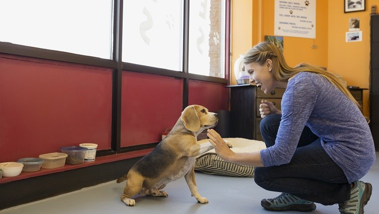 Dog daycare owner high-fiving Beagle in office
