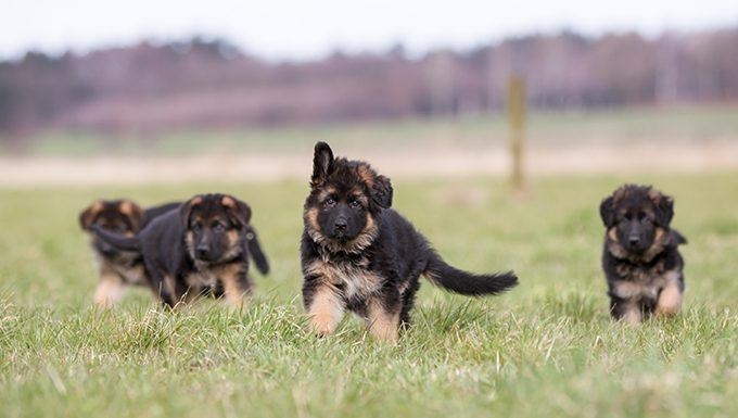 german shepherd puppies in a field