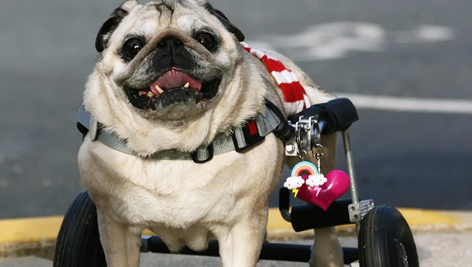 dog in wheelchair