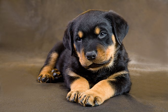 rottweiler puppies dogtime