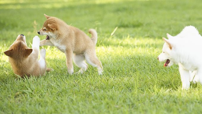shiba inu puppies playing in grass