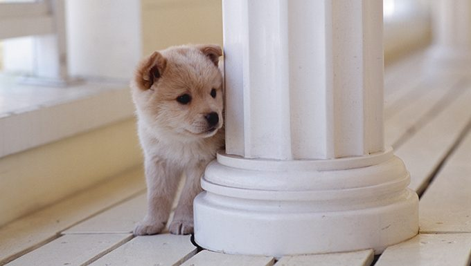 shiba inu puppy hiding around column