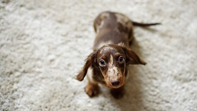 Cute dachshund puppy on carpet