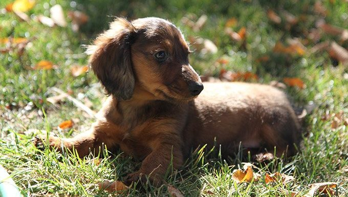Dachshund puppy on the grass